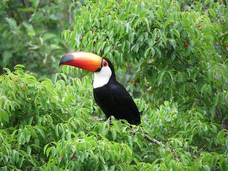 Mata Atlantica, Tucano, Cherry, Vegetation, Forest