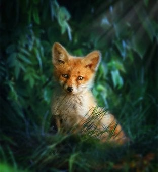 Fox Red, Fox, Nature, Predator, Forest, Redhead, Fur