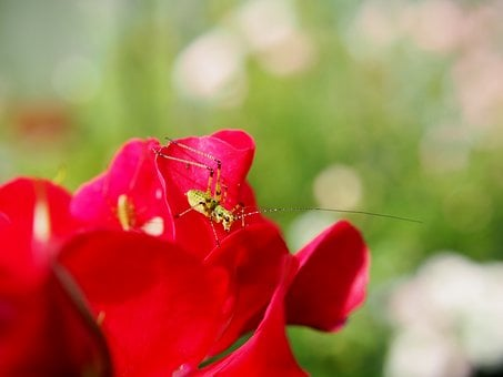 Garden, Grasshopper, Insect, Rose, Red Rose, Nature