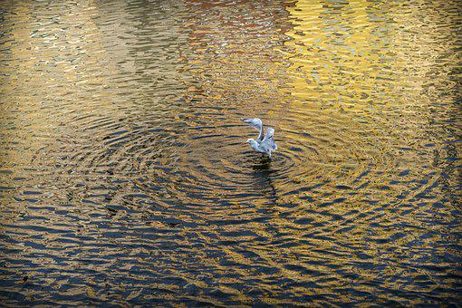 Seagull, Gavina, Bird, Flight, Ave, Wings, Peak, River