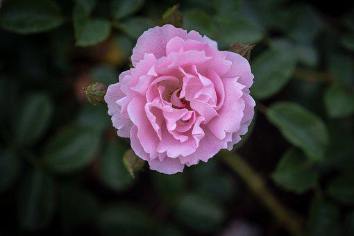 Rose, Red, Blossom, Bloom, Green, Red Rose, Flower