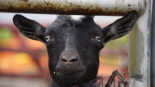 Goat, Goats, Face, Happy, Farm, Farming, Barn, Barnyard