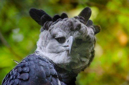 Harpy, Bird Of Prey, Raptor, South America