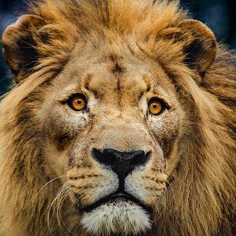 Lion, Head, Big Cat, Cat, Predator, Mane, King Lion