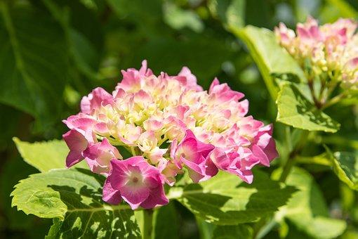 Hydrangea, Pink, Plant, Flower, Summer