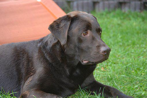 Labrador, Brown, Dog
