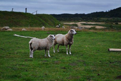 Sheep, Pasture, Meadow, Flock, Landscape, Graze, Wool