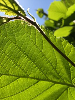Green Leaf, Blue Sky, Leaves, Green, Blue, Sky, Nature