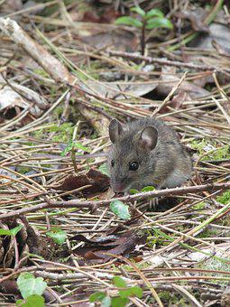 Mouse, Nager, Animal, Mice, Rodent, Mammal