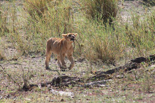 Tanzania, Lion, National Park