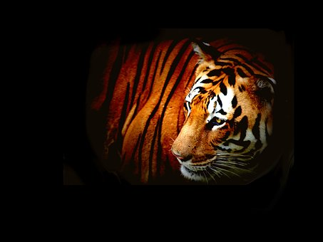 Tiger, Wild, Wildlife, Animal, Nature, Mammal, Cat