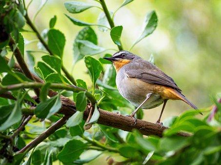 Cape Robin-chat, Bird, Robin, Nature, Wildlife, Animal