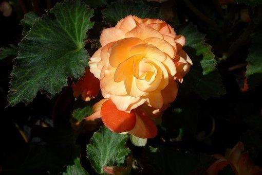 Flower, Ornamental Plant, Pink Orange, Flowerpot
