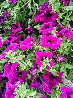 Flowers, Pink, Flourishing, Shrubs