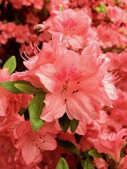 Plant, Pink, Red, Flower, Bud, Green, Leaves, Pedicel