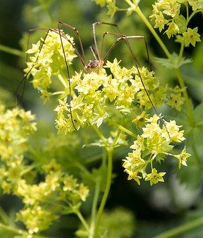 Frauenmantel, Plant, Nature, Garden, Spider, Flora