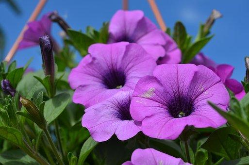 Plant, Flower, Floral, Nature, Garden, Petunia