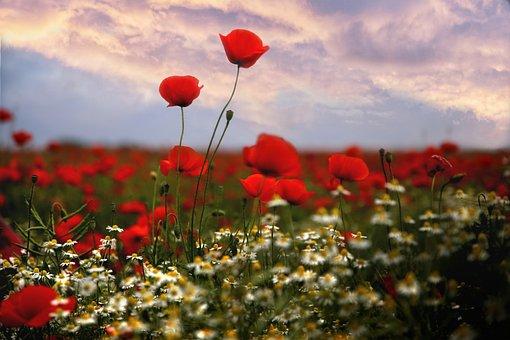 Mati, Poppies, Flowers, Poppy Field, Blooming Poppies