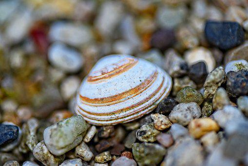 Shell, Valve, Bi-valve, Mollusk, Calcium, Protection