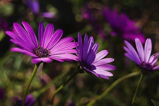 Daisy, Purple Daisy, Violet, Petals, Purple Flower
