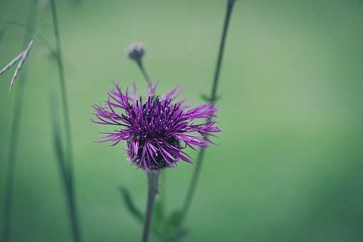 Flower, Marsh Knapweed, Knapweed, Purple, Purple Flower