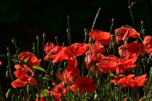 Poppy, Field Of Poppies, Klatschmohn, Red Poppy