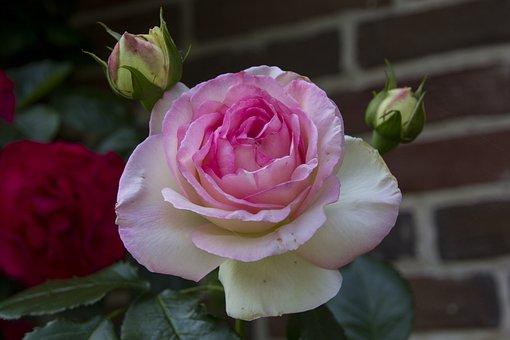 Rose, Flower, Garden, Blossom, Bloom, Nature
