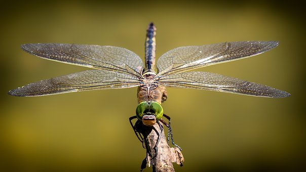 Dragonfly, Wing, Shiny, Insect, Close, Animal, Nature
