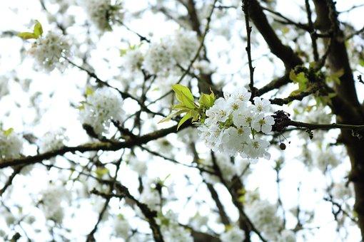 Blossom, White, White Flowers, Spring, White Blossoms