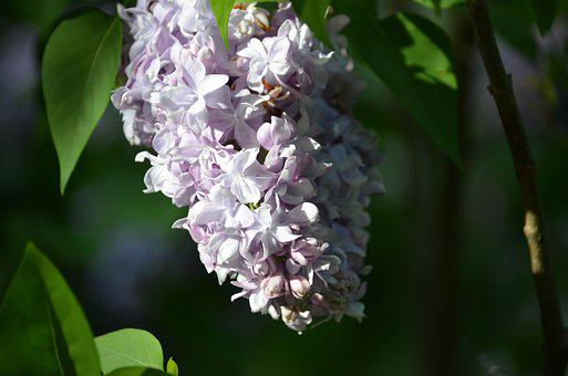 Lilac, Flowers, Spring, Spring Time, Springtime, Blooms