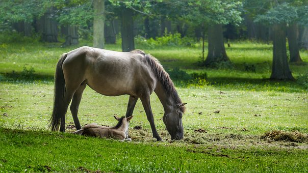 Horse, Foal, Pasture, Suckling, Animal, Mare, Meadow