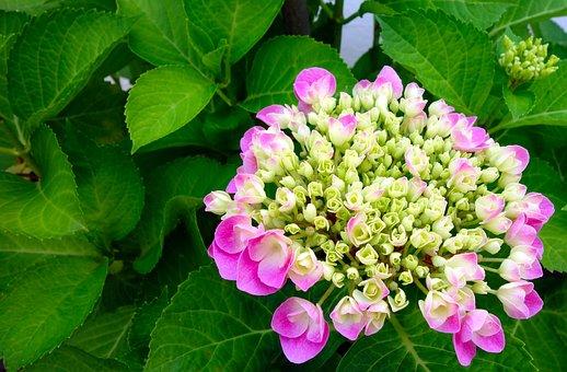Hydrangea, Flower, Blossom, Bloom, Nature, Summer