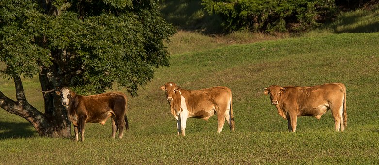 Cows, Bulls, Cattle, Stock, Brown, Young, Three, Farm