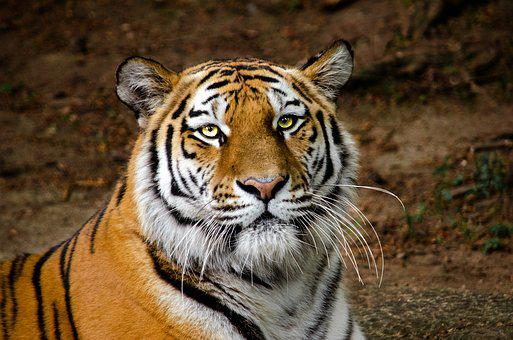 Tiger, Head, Portrait, Eyes, Predator, Carnivores, Cat