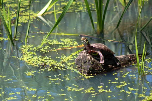 Turtle, Painted Turtle, Wild, Wildlife, Aquatic, Green