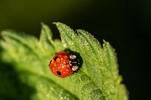Two-point-ladybug, Two-point, Adalia Bipunctata