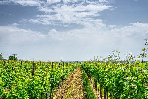 Vineyard, Grapevine, Vine, Wine, Winemaker, Nature
