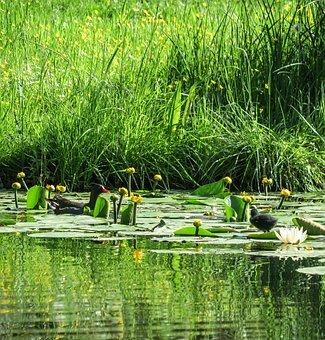 Waterfowl, Moorhen, Common Moorhen, Mother, Child