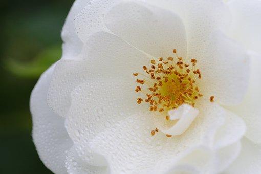 Rose, Blossom, Bloom, White
