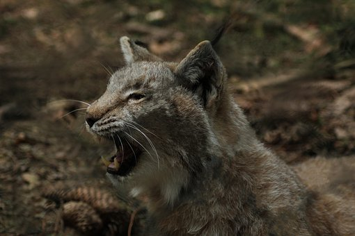 Lynx, Wildlife Park, Eat, Wildcat, Predator