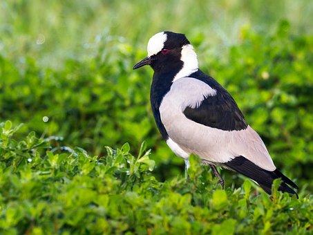 Blacksmith Plover, Lapwing, Bird, Wildlife, Nature