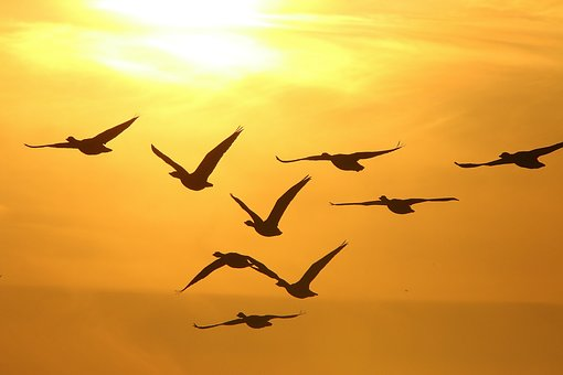 Geese, Winter, Sunset