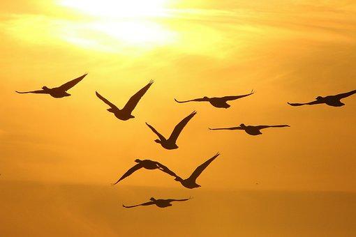 Geese, Winter, Sunset