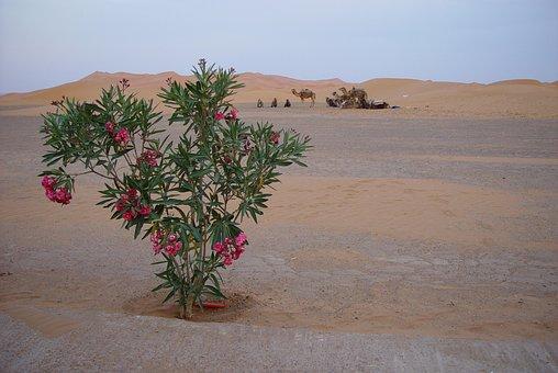 Desert, Camels, Morocco, Wüstentour, Nomad, Sahara
