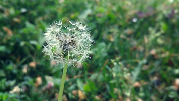 Dandelion, Ankara, Flower, Macro, Youth Park, Greens