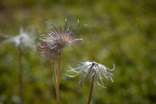 Withered Anemone, Anemone, Faded, Plant, Nature