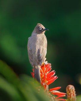 Cape Bulbul, Bird, Nature, Animal, Wildlife, Beak, Wild
