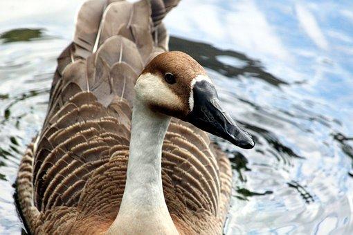 Suhonos, Goose, Bird, Anser Cygnoides, Animals
