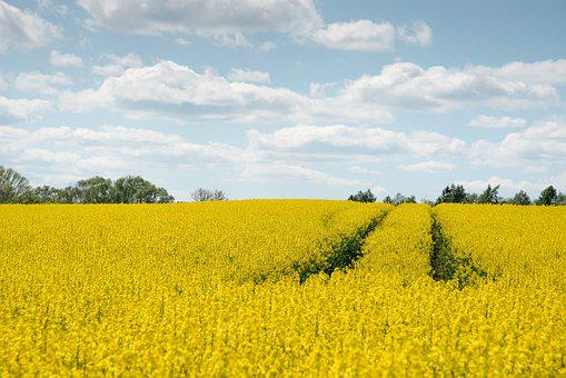 Oilseed Rape, Agriculture, Yellow, Arable