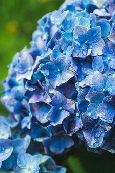 Hydrangea, Ajisai, Blue, Flower, Japan, Background